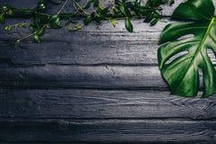 Les feuilles de vert de Monstera plantent l'élevage dans sauvage, l'usine tropicale de forêt sur le fond noir Image de vue supéri Photographie stock