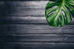 Les feuilles de vert de Monstera plantent l'élevage dans sauvage, l'usine tropicale de forêt sur le fond noir Image de vue supéri Photo stock