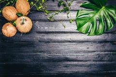 Les feuilles de vert de Monstera plantent l'élevage dans sauvage, l'usine tropicale de forêt sur le fond noir La noix de coco est Photographie stock