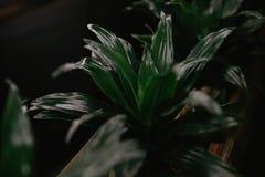 Les feuilles de vert de Monstera plantent l'élevage dans sauvage, l'usine tropicale de forêt, vigne à feuilles persistantes sur l Photos stock