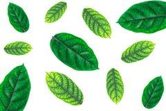 Les feuilles de vert ont beaucoup de feuilles photo stock