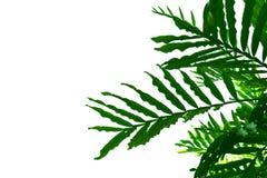 Les feuilles de vert ont isolé le fond blanc Image stock