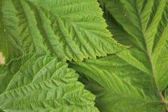 Les feuilles de vert ont ridé la texture pour la fin abstraite de fond  Photos libres de droits