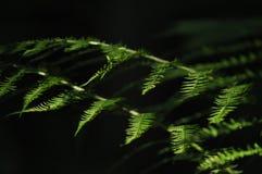 Les feuilles des fougères ont accentué le soleil Photo stock