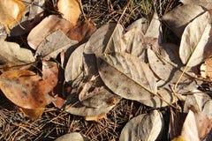 Les feuilles des peupliers d'automne Images libres de droits