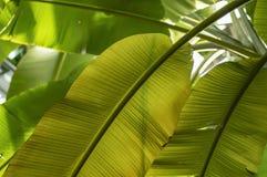 Les feuilles du bananier image libre de droits