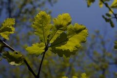 Les feuilles du chêne brillent par le soleil photos libres de droits