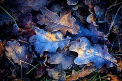 Les feuilles du chêne d'automne Photographie stock