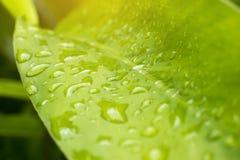 Les feuilles du galangal plantées dans le jardin pendant la pluie Image stock