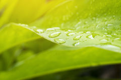 Les feuilles du galangal plantées dans le jardin pendant la pluie images stock