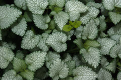 Les feuilles du Lamium et du x22 ; Balise Silver& x22 ; dans le plan rapproché de jardin Foyer sélectif Image libre de droits