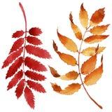 Les feuilles du viburnum dans une aquarelle dénomment d'isolement Photo libre de droits