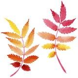 Les feuilles du viburnum dans une aquarelle dénomment d'isolement Images libres de droits