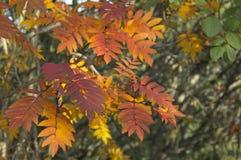 Les feuilles et les baies de sorbe images libres de droits