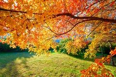 Les feuilles et la pelouse d'érable Images stock