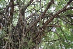 Les feuilles et les racines de figue de rideau verdissent naturel photos stock