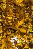 Les feuilles jaune-orange d'automne de chute de l'arbre de châtaigne modèlent le motif Photos libres de droits