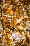 Les feuilles jaune-orange d'automne de chute de l'arbre de châtaigne modèlent le motif Photographie stock