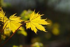 Les feuilles jaunes d'érable rougeoient au soleil Autumn Time Image libre de droits
