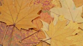 Les feuilles jaunes d'érable tombent vers le bas banque de vidéos