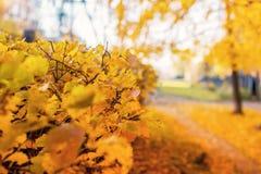 Les feuilles jaunes ne sont pas un buisson, automne est chère en parc, foyer sélectif photographie stock libre de droits