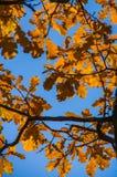 Les feuilles oranges accrochent sur les branches d'un arbre en automne Images stock