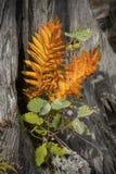 Les feuilles oranges de la fougère de cannelle sur le bois de flottage stump, du nord-ouest Photographie stock libre de droits