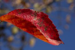 Les feuilles rouges de l'automne photographie stock libre de droits