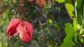 Les feuilles rouges du buisson de plante grimpante de Virginie balancent en vent banque de vidéos
