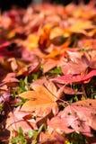 Les feuilles sèches d'érable tombent vers le bas Images libres de droits