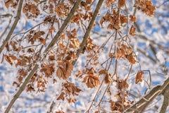 Les feuilles sèches de Brown couvertes de neige, hiver vient Photographie stock