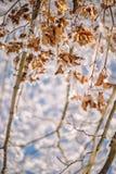 Les feuilles sèches de Brown couvertes de neige, hiver vient Photographie stock libre de droits