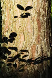 Les feuilles silhouettent sur l'écorce du tronc de pin Été dans la forêt Image stock