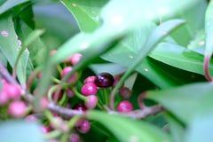 Les feuilles sont couvertes de fruit rose lumineux photo stock