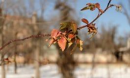 Les feuilles sont restées sur un arbre quand là est venu l'hiver image libre de droits