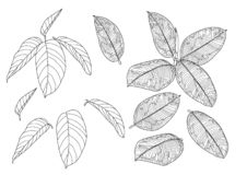 Les feuilles squelettiques ont rayé la conception sur le vecteur blanc d'illustration de fond illustration stock