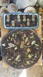 Les feuilles succulentes ont installé prêt pour le succès de propagation images stock