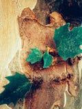 Les feuilles sur l'écorce d'arbre Photos libres de droits