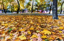 Les feuilles tombées d'une couche dense d'érable se sont trouvées sur l'herbe verte dans t image stock