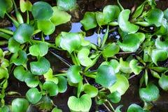 Les feuilles tropicales sur l'eau se laisse tomber dans la forêt Photos stock