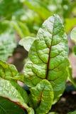 Les feuilles veinées rouges d'une usine de betterave au-dessus de la terre images stock