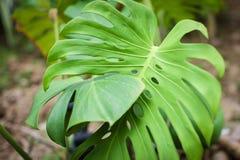 Les feuilles vert clair du feuillage tropical de philodendron de fente-feuille de monstera plantent l'élevage dans sauvage Fond f photo libre de droits