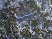 Les feuilles vertes des roses sont couvertes de neige en hiver images stock