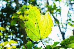 Les feuilles vertes et jaunes poussent des feuilles nature de région sauvage de Sunny Forest symbolique, profondeur de Sunflare B photo stock