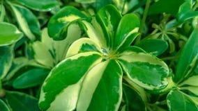 """Les feuilles vertes fraîches avec la baisse de pluie, ils ont appelé des usines de """"Walisongo """" photo stock"""