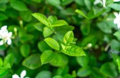 Les feuilles vertes molles de jeune bourgeon frais fleurissent sur le fond brouill? de plante naturelle de verdure et de fleur bl images stock