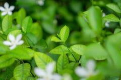 Les feuilles vertes molles de jeune bourgeon frais fleurissent sur le fond brouill? de plante naturelle de verdure et de fleur bl image libre de droits
