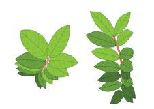 Les feuilles vertes sont un bouquet sur le fond blanc illustration libre de droits