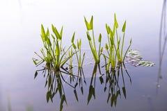 Les feuilles vertes spectaculaires de lis se sont reflétées dans le wa d'espace libre de miroir Photos stock
