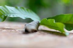 Les feuilles vertes voient les fibres des tiges de feuille Feuilles brunes croquantes photos stock